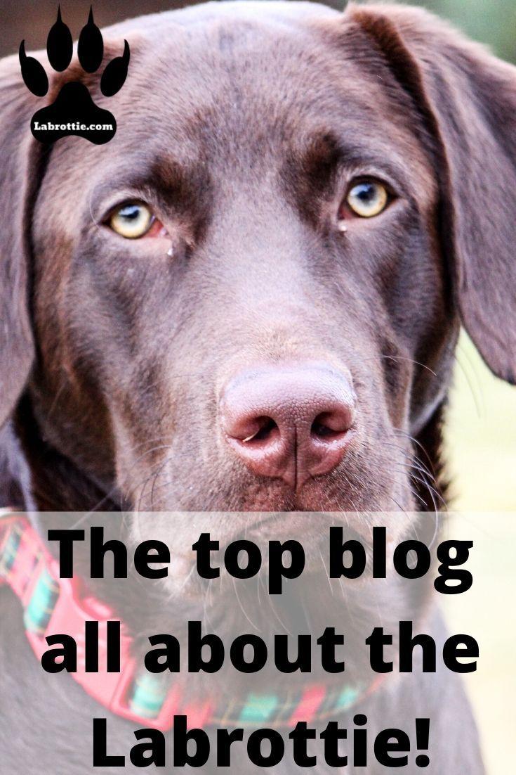 Labrottie Temperament And Characteristics Labrottie Com In 2020 Top Blogs Blog Awareness