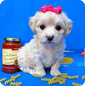 Irvine, CA - Poodle (Miniature)/Cockapoo Mix. Meet Valentina a Puppy for Adoption.