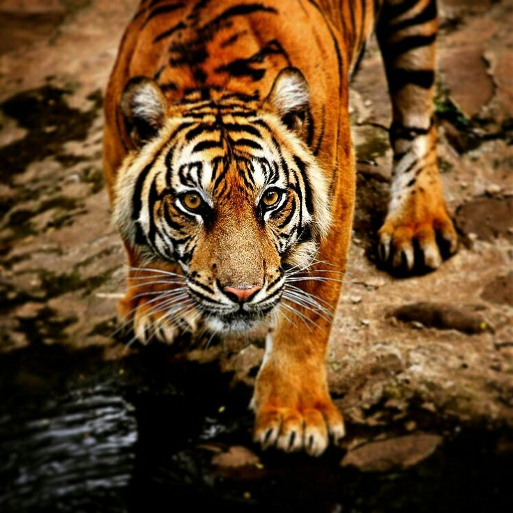 sumatera tiger