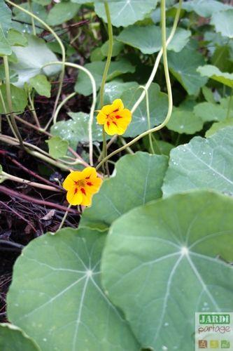 Il reste encore quelques fleurs de capucines pour venir égayer les plats d'automne. Une plante bien utile le reste du temps puisqu'elle permet d'attirer vers elle les pucerons et de détourner des choux les chenilles de la piéride. http://www.jardipartage.fr/fleurs-utiles-potager/