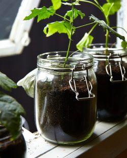 Seedlings growing in a glass jar