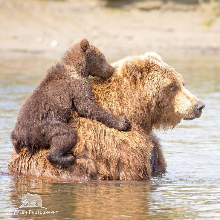 658 besten b ren bilder auf pinterest die wilden grizzlyb ren und knochen. Black Bedroom Furniture Sets. Home Design Ideas