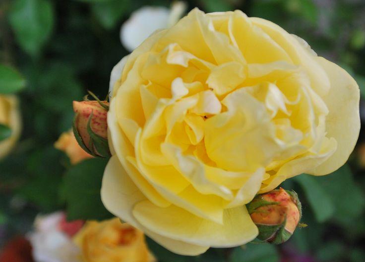 Un giallo tenue e profumato #orticola