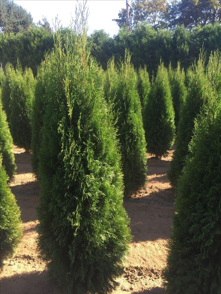 25 best ideas about emerald green arborvitae on pinterest for Arborvitae garden designs