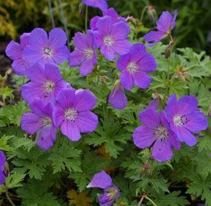 Geranium Himalayense 'Baby Blue'