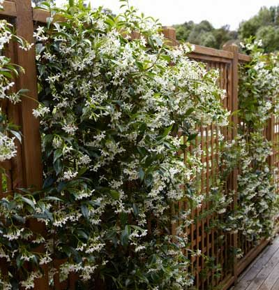 Fragrant and Alluring Evergreen Climber - The Star Jasmine is famous for...  • Sweet fragrance that fills up your backyard or patio    • Long-lasting, bright white blooms  • Low-maintenance  Also known as Confederate Jasmine, the Star Jasmine is great for any garden or landscape.  White, pinwheel-shaped flowers emerge...