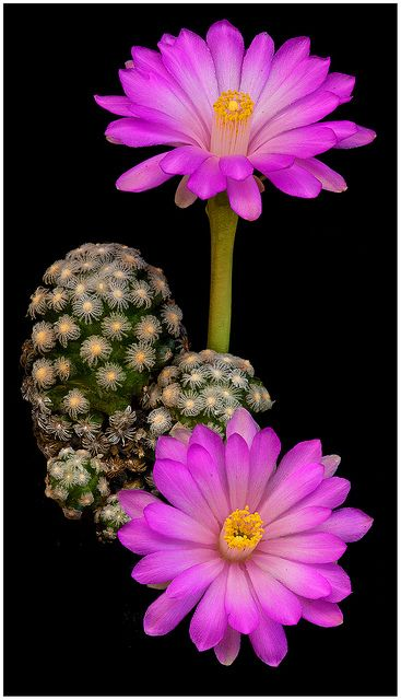 ✯ Pink Mammillaria Theresae Flowers what beauty grows from something so harsh.