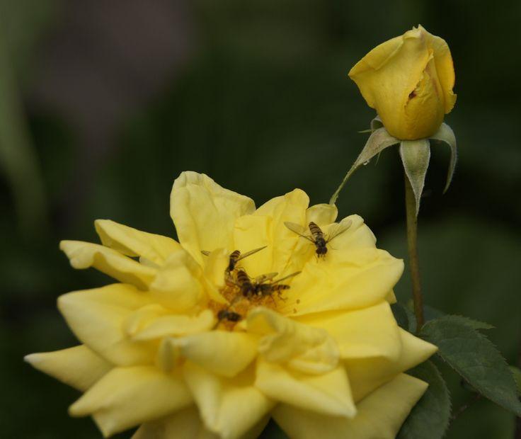 Rose mit Insekten