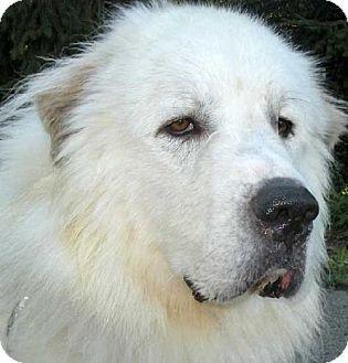 2/20/14: Beacon, NY - Great Pyrenees. Meet Blizzard a Dog for Adoption.