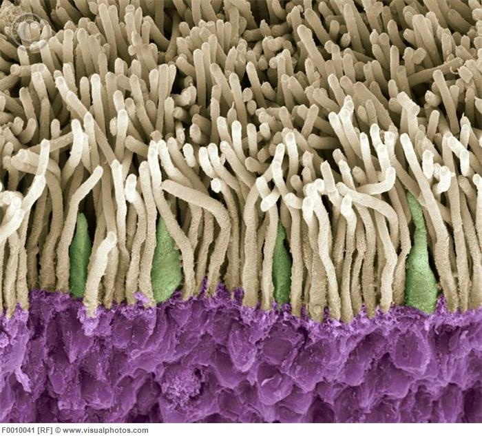 Retina. Coloured scanning electron micrograph (SEM) of rods (yellow) and cones (green) in the retina of the eye. The outer nuclear layer is purple. Magnification x1800 when printed at 10 centimetres wide. [F0010041] Incredible!!