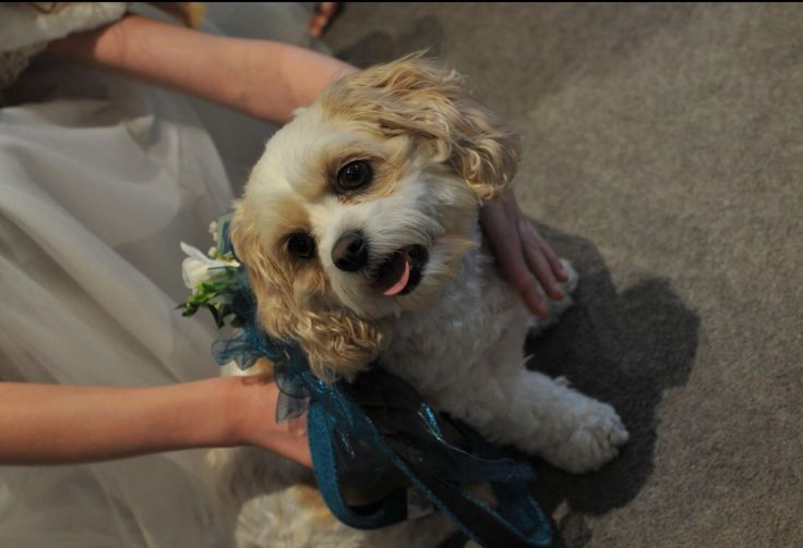 Ellie, the Dog of Honour, from Sorrel & Andy's Harry Potter Wedding. Sorrel owns and runs Ambience Venue Styling North  Lancashire.