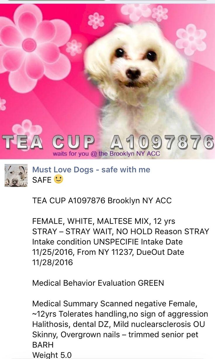 SAFE❤️❤️ 11/26/16 ❤️❤️ 12 YEARS OLD!! SUPER URGENT Brooklyn Center TEA CUP – A1097876 FEMALE, WHITE, MALTESE MIX, 12 yrs STRAY – STRAY WAIT, NO HOLD Reason STRAY Intake condition UNSPECIFIE Intake Date 11/25/2016, From NY 11237, DueOut Date 11/28/2016 http://nycdogs.urgentpodr.org/tea-cup-a1097876/