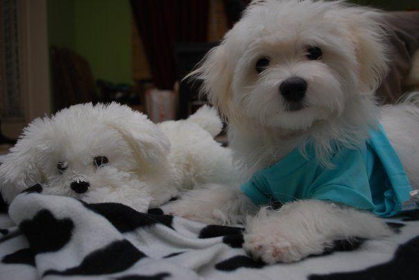 Maltese puppy and stuffed friend