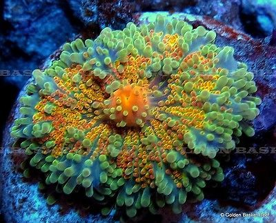 Mushroom Corals for Sale | Live Coral - Exotic Orange Ricordea Yuma Mushroom For Sale - New and ...