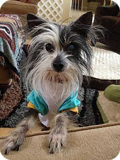 Meet Gemma, a Petfinder adoptable Chinese Crested Dog Dog | Henderson, NV | Gemma's Story...Darling Gemma is a senior Chinese crested who's about 8 years old. She came into...