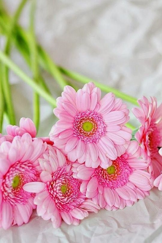 The 1298 best iek bahesi images on pinterest beautiful flowers pink gerbera daisies via simply beautiful world simply beautiful world mightylinksfo