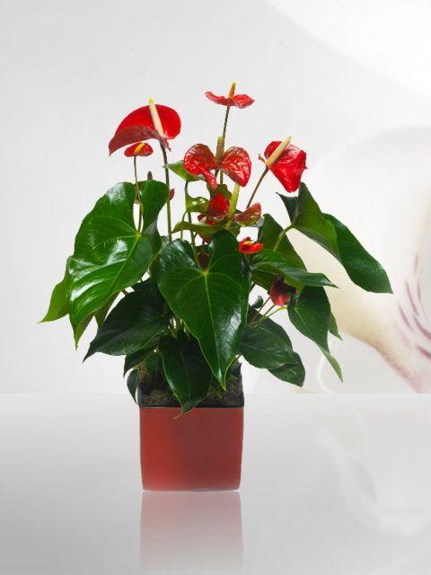 Venta de plantas plantas de ornato para interiores for Plantas ideales para interiores