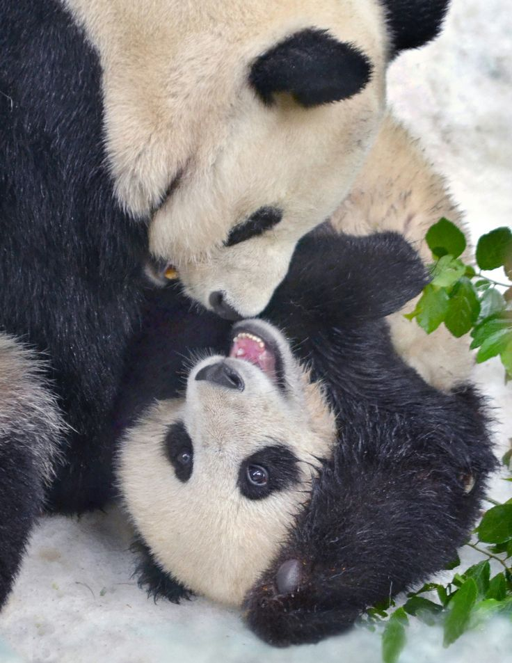 Panda cubs playing in snow - photo#15
