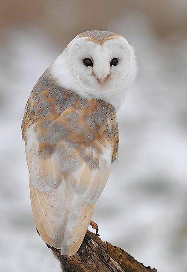 Winter Barn Owl by barnowlcentre     From redbubble     via Bev Murphy