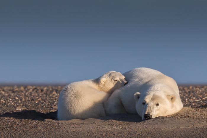 Woman Goes To Alaska To Photograph Polar Bears In Snow - But There's No Snow