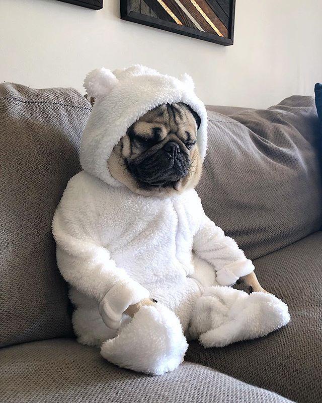 Doug The Pug Itsdougthepug Instagram Photos And Videos Cute