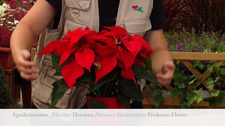 La coloración de la poinsettia #gardenideas #euphorbiapulcherrima