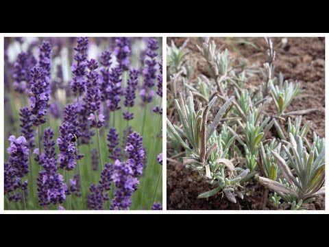 Выращивание ЛАВАНДЫ из семян - YouTube