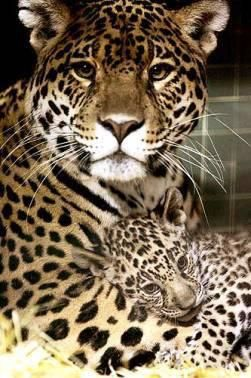 leopard mama & her baby.