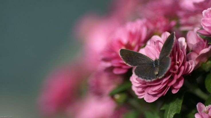 Butterfly Pink Flower Wallpapers - http://hdwallpapersf.com/butterfly-pink-flower-wallpapers