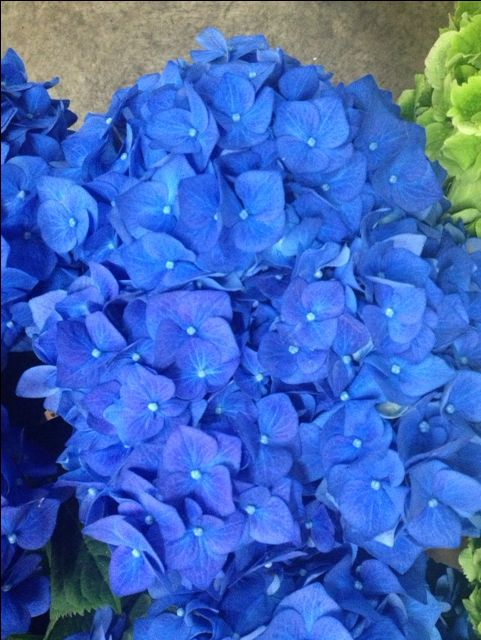 Hydrangea Bela...Sold in bunches of 10 stems from the Flowermonger the wholesale floral home delivery service.