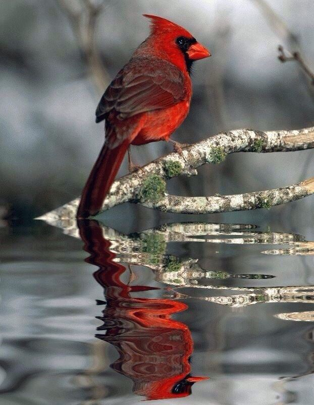 PHOTOSHOPPED -- Cardinal on the river                                                                                                                                                      More