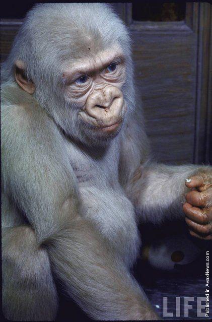 "Unique Gorilla Named ""Snowflake"" (1972)"