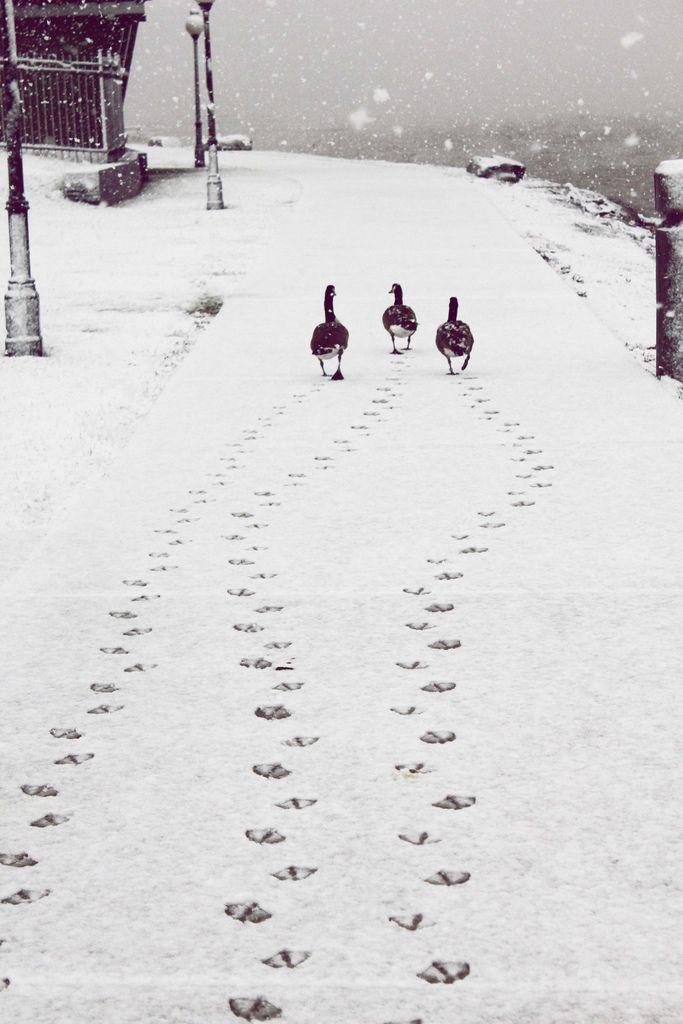 Three geese taking a stroll in freshly fallen snow.