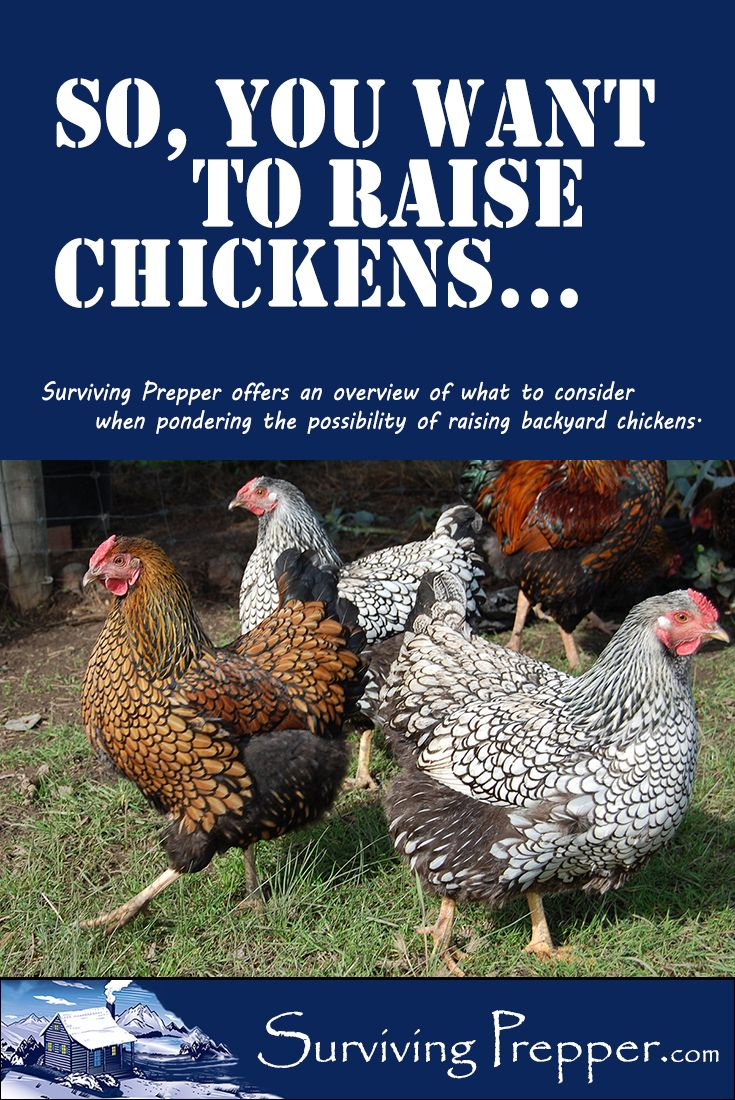 12 best chickens images on pinterest