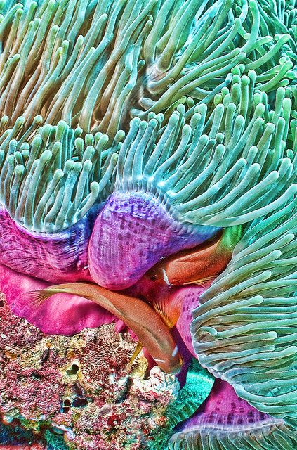 Anemone - ©/cc Neville Wootton (Wodgie) - www.flickr.com/photos/nevillewootton/8543173712/in/set-72157632957239777#