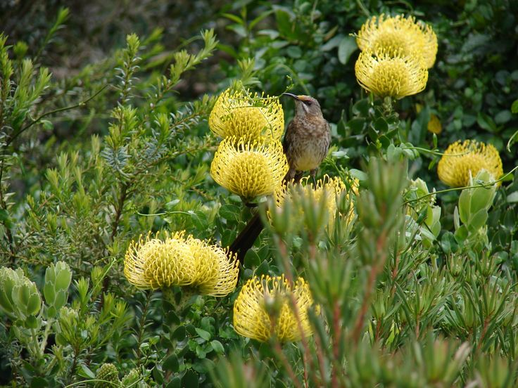 Birdie hidding behind! Yellow proteas, lovely!