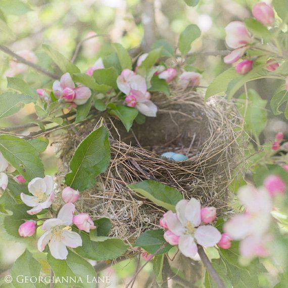 Bird Nest Photo - Apple Blossoms and Robin's Eggs, Whimsical Nursery Home Decor, Romantic  Wall Art