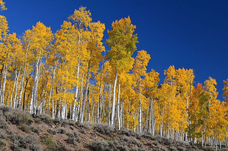 Pando, the world's largest living thing, is dying. But conservationists have found an unexpected way to protect it.