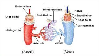 tabel perbedaan arteri dan vena,perbedaan pembuluh vena dan arteri,arteri vena dan kapiler,darah arteri dan vena,