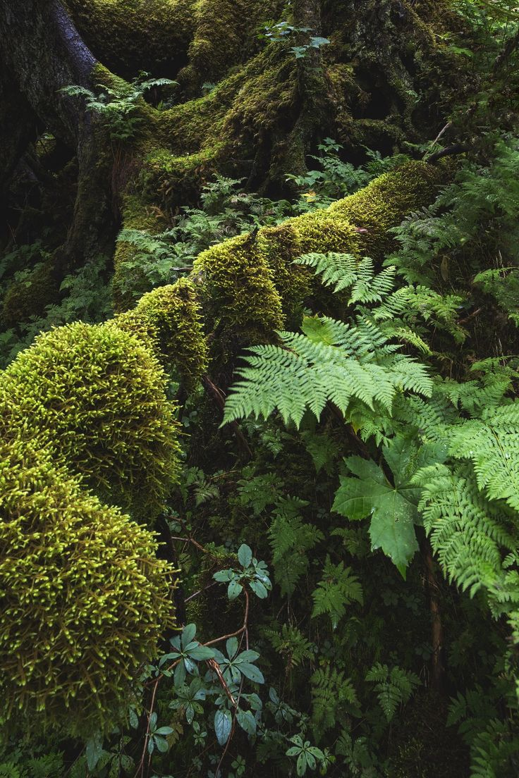 Forest Study- Diverse textures and shades of green in a moss-laden forest near Portage Glacier, Alaska