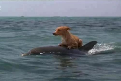 Dolphins Help Save Dog from Drowning!  On Marco Island, Florida a group of dolphins came to the aid of a lost Dog that had fallen into a canal and couldn't get out. The dolphins made so much noise, it attracted the attention of people living nearby, who then rescued the dog. The Dog was believed to have spent 15 hours in the canal water before he was pulled out by fire personnel and reunited with his owner.