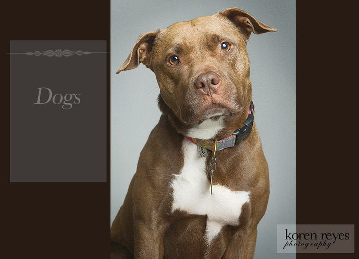 professional Pitbull dog pictures | Professional Dog Photographers, New York, NY + Pet, Puppy, Kitten ...