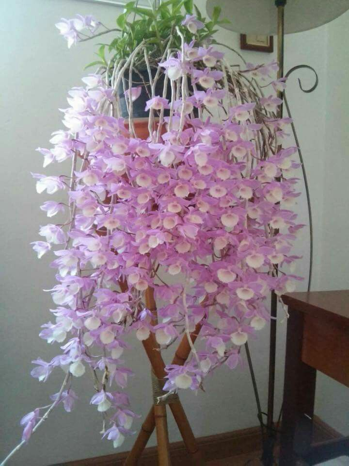 Encantador Dos Especies De Orquídeas Con Diferente Anatomía Floral ...