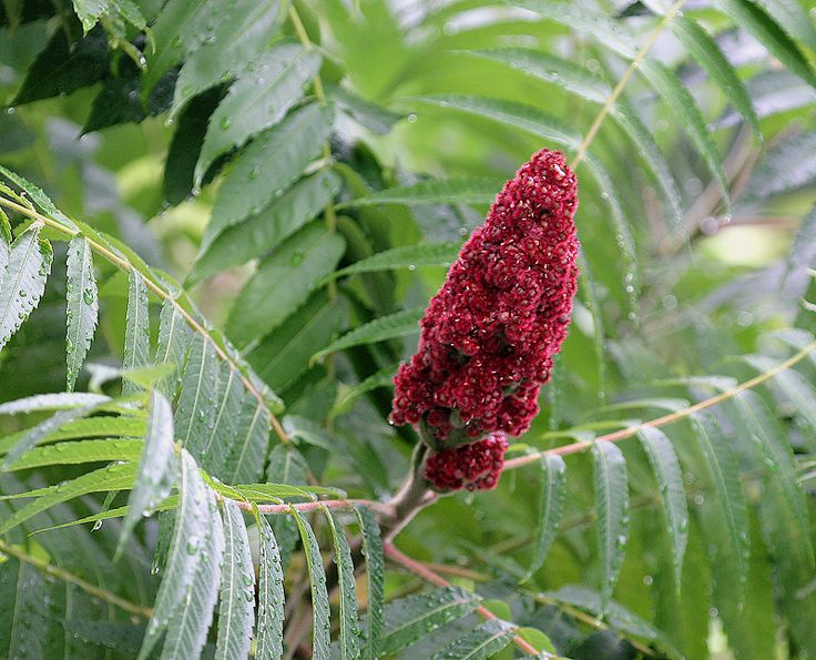 Sumac: The Edible Wild Plant You (Wrongly) Thought Was Always Poisonous