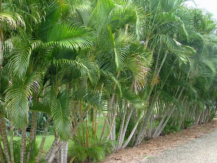 89 best Palms images on Pinterest | Palm trees, Palms and Tropical ...