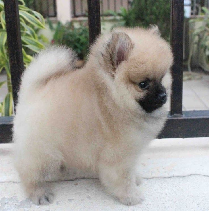 Full-Grown Teacup Pomeranian