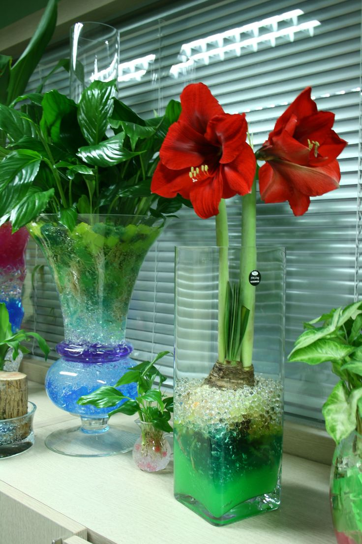 Spathiphyllum amaryllis and syngonium growing in water for Amaryllis deco
