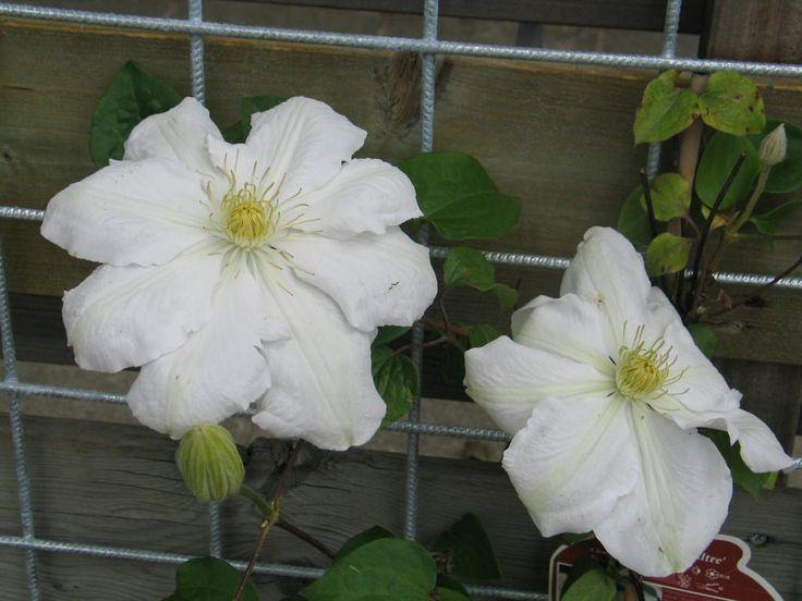 Clematis 'Madame Le Coultre'/ C. 'Marie Boisselot',  kan als snijbloem gebruikt, bloeit begin zomer tot eind herfst. Sterk blad en tot ver in de herfst groen.