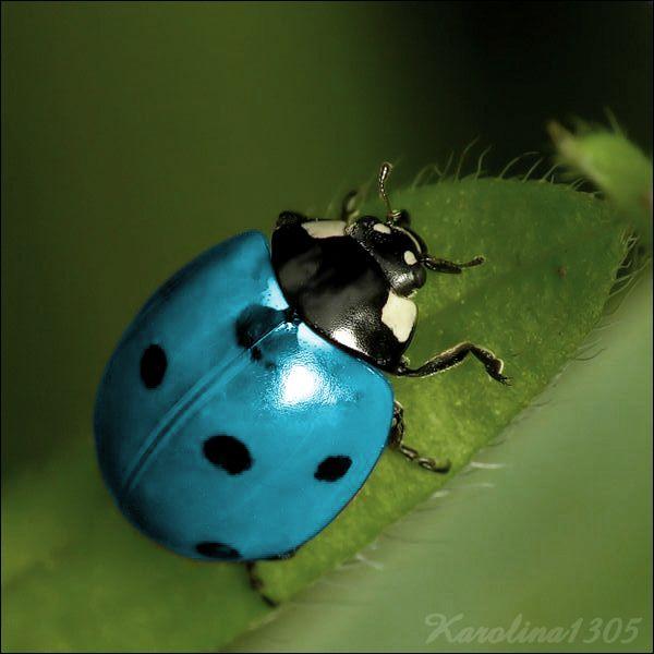 ♥LB♥ 18 Blue Ladybug | Blue ladybug by Karolina1305 on deviantART
