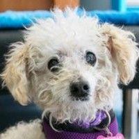 Cute+Muttville+mutt:+Lambchop+4094+(Miniature+poodle+mix+|+Male+|+Size:+small+(6-20+lbs))
